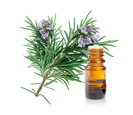 Essential oils of rosemary