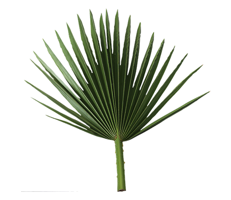 Saw Palmetto (palmier nain)